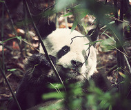 Search for the Giant Panda