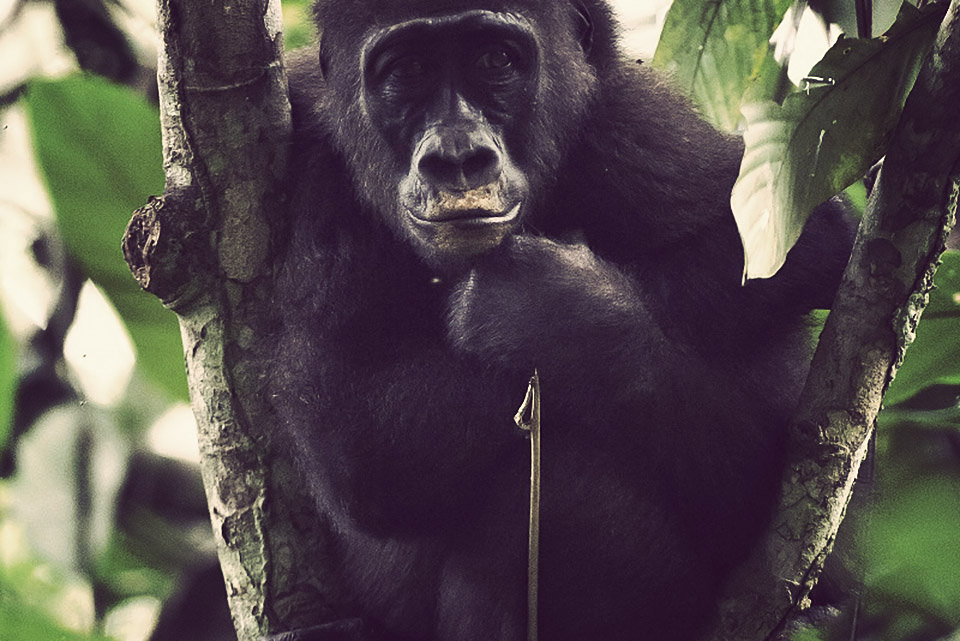 Congo Gorilla Expedition